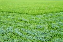 Ryżowi liście cięli przed ucho Zdjęcia Stock