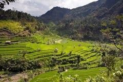 ryżowi tarasy zdjęcia royalty free