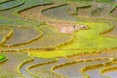 Ryżowi tarasy przy flancowanie sezonem Obraz Stock