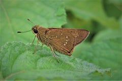 Ryżowy Błyskawiczny Motyli obsiadanie na zielonym liściu Zdjęcie Stock