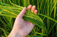 Ryżowy badyl na ręce Obrazy Stock