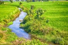 Ryżowy dorośnięcie w Azja Zdjęcie Stock