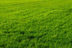 Ryżowy greenfield tło obraz stock