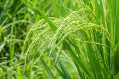 Ryżowy kolec w ryżu polu. Fotografia Stock