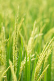 Ryżowy kolec w ryżu polu. Zdjęcia Stock