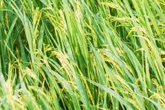 Ryżowy kolec w ryżu polu Zdjęcie Royalty Free