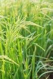 Ryżowy kolec w ryżu polu Obraz Royalty Free