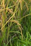 Ryżowy kolec w ryżu polu Fotografia Royalty Free
