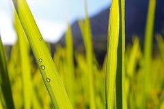 Ryżowy liść Zdjęcie Royalty Free