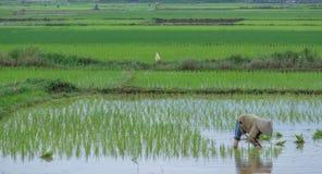 Ryżowy rolnik przeflancowywa ryżowe rozsady zdjęcia royalty free