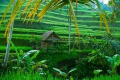 Ryżowy tarrace w górach na Bali wyspie obrazy stock