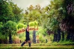 Ryżowy uprawiać ziemię, rolnicy r ryż w pora deszczowa lokalnym kraju Thailand fotografia royalty free