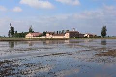 Ryżowy Włochy Obraz Stock