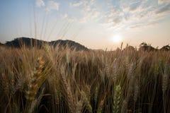 Ryżowy widok w Chaing Mai obrazy stock