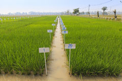 Ryżu eksperymentalny gospodarstwo rolne obrazy stock
