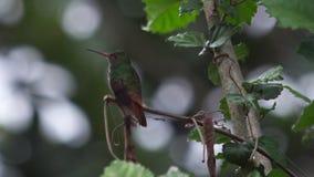 Ryży Ogoniasty Hummingbird zbiory wideo