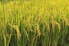 ryż Fotografia Royalty Free