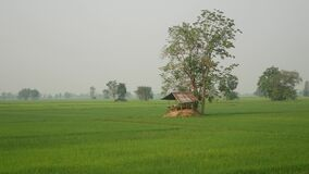 ryż i widok zbiory wideo
