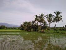Ryżowa kultywacja w tirunelveli, tamilnadu zdjęcie stock