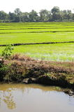 Ryżowa plantacja Zdjęcia Royalty Free
