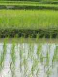 Ryżowe flance Obrazy Stock