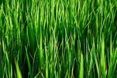 Ryżowe flance Zdjęcie Royalty Free