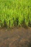 ryżowe rozsady Zdjęcia Stock