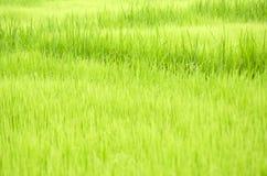 Ryżowe rozsady Obraz Royalty Free