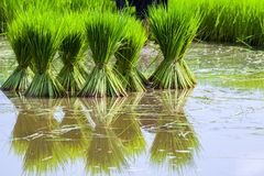 Ryżowe rozsady Obraz Stock