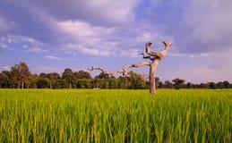 Ryżowego irlandczyka drzewo Fotografia Stock