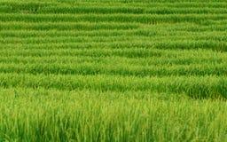 Ryżowego irlandczyka pole fotografia stock