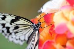 Ryżowego papieru motyl Zdjęcie Stock
