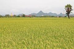 Ryżowi irlandczycy w Tajlandia zdjęcia royalty free