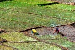 Ryżowi pola Zdjęcie Royalty Free