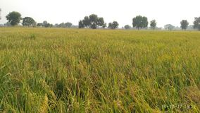 Ryżowi pola : Fotografia Royalty Free