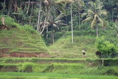 Ryżowi pola Obraz Stock