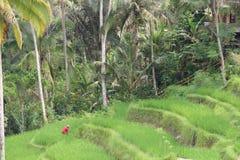 Ryżowi pola Zdjęcia Royalty Free