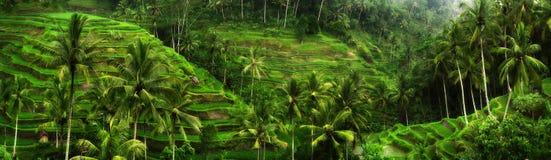Ryżowi pola Fotografia Stock
