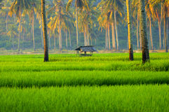 Ryżowi pola Jawa Fotografia Stock