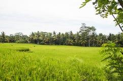 Ryżowi pola Ubud, Bali Zdjęcie Stock