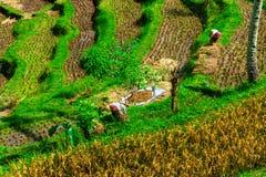 Ryżowi pole pracownicy Obrazy Stock