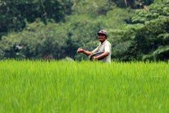Ryżowi rolnicy Zdjęcia Stock