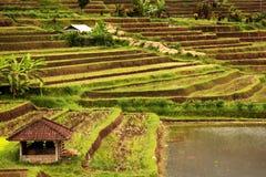 ryżowi tarasy Fotografia Stock