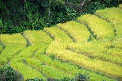Ryżowi tarasy zdjęcie stock