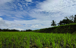 Ryżowi tarasy Zdjęcia Stock