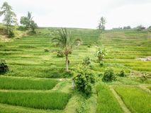 Ry?owi tarasy Jatiluwih w g?rach Bali wyspa w Indonezja fotografia royalty free