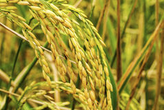 Ryżowi ucho Zdjęcie Stock