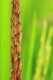 Ryżowy irlandczyk Obrazy Royalty Free