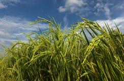 Ryżowy irlandczyk z niebieskim niebem Obrazy Stock