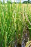 Ryżowy jagody ziarno Zdjęcia Stock